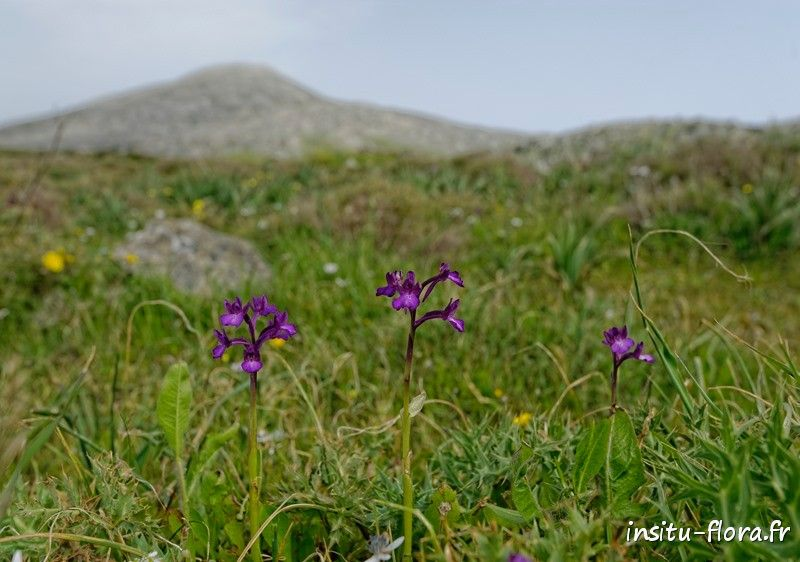 Orchis de Bory (Orchis boryi) - Plateau de Gious Kambos