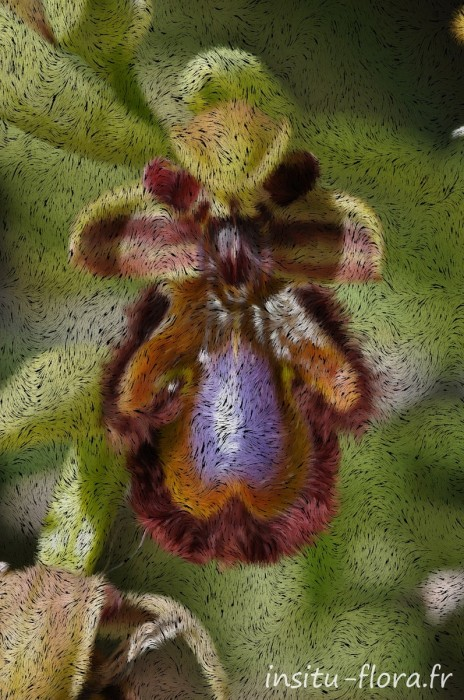 Ophrys miroir ; Ophrys speculum Link *